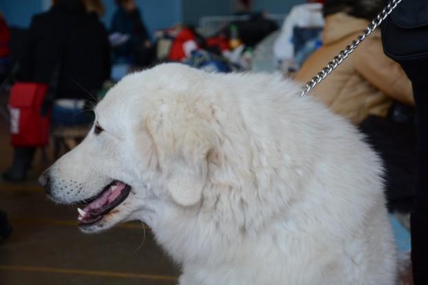 Донецк 2xCACIB dogshow 08-09.03.2014